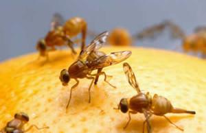 moscerini-frutta